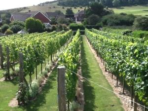 Vineyard 140808
